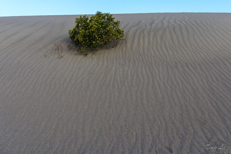 Flower in Sand Dunes @ Death Valley