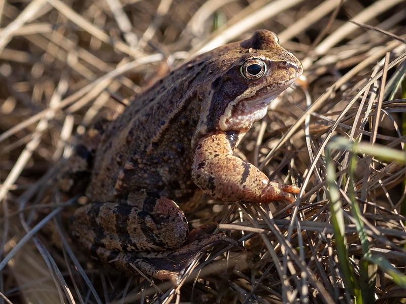 Frosk / Frog<br /> Fiskumvannet; Øvre Eiker 10.4.2020<br /> Canon  5D Mark IV + EF 500mm f/4L IS II USM + 1.4x Ext