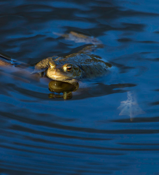 Padde / Toad<br /> Linnesstranda, Lier 20.4.2014<br /> Canon EOS 7D + EF 100-400 mm 4,5 - 5,6 L