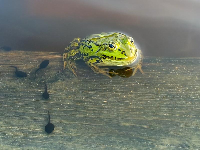 Damfrosk / Pool frog<br /> Kaunas, Litauen 20.5.2012<br /> Samsung Galaxy SII mobiltelefonkamera