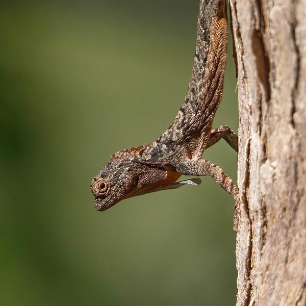 Spotted flying dragon / Draco maculatus<br /> Dalat,  Vietnam 27.1.2020<br /> Canon  5D Mark IV + EF 500mm f/4L IS II USM + 1.4x Ext