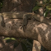 Nilvaran / Nile Monitor<br /> Tendaba, Gambia 4.2.2016<br /> Canon 7D Mark II + Tamron 150 - 600 mm 5,0 - 6,3