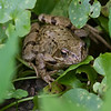 Frosk / Frog<br /> Linnesstranda, Lier 11.5.2014<br /> Canon EOS 7D + EF 100-400 mm 4,5-5,6 L