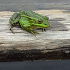Damfrosk / Pool frog<br /> Kaunas, Litauen 21.5.2012<br /> Samsung Galaxy SII mobiltelefonkamera