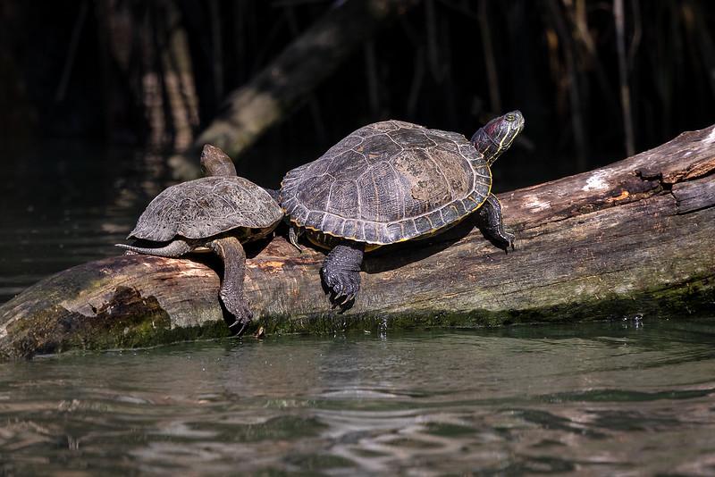 Skilpadde / Turtle