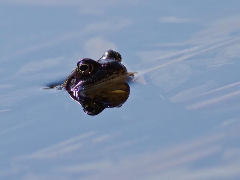Frosk / Frog<br /> Linnesstranda, Lier 14.4.2012<br /> Canon EOS 7D + EF 400 mm 5,6 L