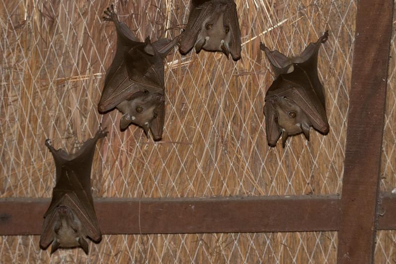 Flygehund / Gambian Epauletted Fruit Bat<br /> Kaolack, Senegal 30.1.2016<br /> Canon 7D Mark II + Tamron 150 - 600 mm 5,0 - 6,3 @ 213 mm