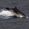 Tumler / Bottlenosed Dolphin<br /> La Palma, Spania 29.12.2017<br /> Canon 7D Mark II + Tamron 150 - 600 mm 5,0 - 6,3 G2 @  500 mm