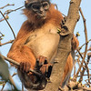 Rødkolobusape / Red Colobus Monkey<br /> Abuko, Gambia 5.2.2016<br /> Canon 7D Mark II + Tamron 150 - 600 mm 5,0 - 6,3 @ 428 mm