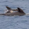 Grindhval / PIlot Whale<br /> La Palma, Spania 29.12.2017<br /> Canon 7D Mark II + Tamron 150 - 600 mm 5,0 - 6,3 G2 @  150 mm
