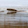Bever / Beaver <br /> Linnesstranda, Lier 10.4.2010<br /> Canon EOS 50D + EF 400 mm 5,6 L