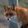 Rødrev / Red Fox <br /> Linnesstranda, Lier 10.4.2011<br /> Canon EOS 50D + EF 400 mm 5,6 L