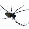 Edderkopp / Giant Spider<br /> Angkor Wat, Siem Reap, Kambodja 15.4.20120<br /> Canon 5D Mark IV + EF 500 mm 4.0 + 1.4 x Extender