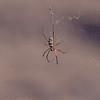 Edderkopp / Spider<br /> Ayn Hamran, Oman 30.11.2010<br /> Canon EOS 50D + EF 400 mm 5.6 L