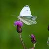 Liten kålsommerfugl / Little White<br /> Linnesstranda, Lier 29.7.2012<br /> Canon EOS 7D + EF 100-400 mm 4,5-5,6 L
