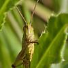 Gresshoppe / Grashopper <br /> Linnesstranda, Lier 30.7.2011<br /> Canon EOS 50D + EF 100 mm 2.8 Macro USM