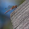 Rødbrun høstlibelle / Common Darter<br /> Linnesstranda, Lier 14.9.2014<br /> Canon 7D + Tamron 150 - 600 mm 5,0 - 6,3