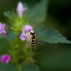 Blomsterflue / Hover Fly <br /> Fiskumvannet, Øvre Eiker 28.7.2011<br /> Canon EOS 50D + EF 100 mm 2.8 Macro USM
