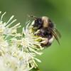 Humle / Bumble Bee<br /> Linnesstranda, Lier 9.6.2014<br /> Canon EOS 5D Mark II + 100 mm macro