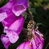 Humlebille / Bee beetle<br /> Luster, Sogn og Fjordane, 7.7.2009<br /> Canon EOS 50D + EF 17-40 mm L @ 39 mm