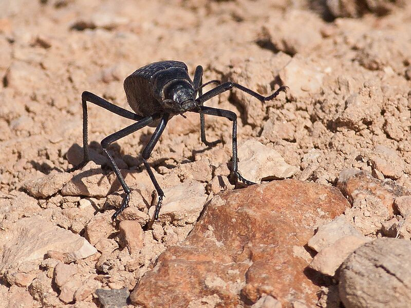 Skyggebille / Darkling Beetle<br /> Al Mughsayl, Oman 02.12.2010<br /> Canon EOS 50D + EF 400 mm 5.6 L