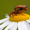 Rødgul bløtvinge / Common Red Soldier Beetle<br /> Linnesstranda, Lier 5.7.2014<br /> Canon EOS 5D Mark II + EF 100 mm 2,8 Macro