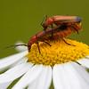 Rødgul bløtvinge / Common Red Soldier Beetle<br /> Linnesstranda, Lier 5.7.2014<br /> Canon EOS 5D Mark II + EF 100 mm 2,8 Macro