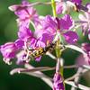 Firflekket blomsterbukk / Four-Banded Longhorn<br /> Hou Danmark, 10.7.2014<br /> Canon EOS 5D Mark II + EF 100 mm macro