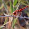 Øyenstikker / Dragon Fly <br /> Masirah, Oman 27.11.2010<br /> Canon EOS 50D + EF 400 mm 5.6 L