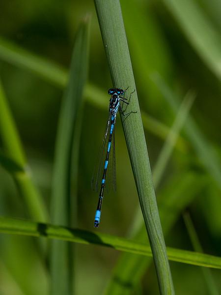 Vannymfe / Damsel fly<br /> Linnesstranda, Lier 26.5.2012<br /> Canon EOS 7D + EF 100-400 mm 4,5-5,6 L