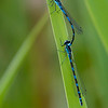 Vannymfe / Damsel fly<br /> Borrevannet, Horten 28.5.2012<br /> Canon EOS 7D + EF 100-400 mm 4,5-5,6 L