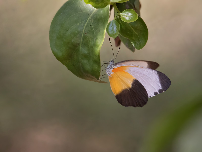 Sommerfugl / Butterfly<br /> Footsteps Lodge, Gambia 24.1.2016<br /> Canon 7D Mark II + Tamron 150 - 600 mm 5,0 - 6,3 @ 500 mm