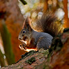 Ekorn / Red squirrel