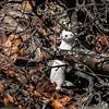 Snømus / Least weasel