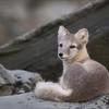 Flellrev  -  Artic Fox