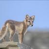 Fjellrev  -  Artic Fox