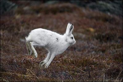 HARE  -   Mountain Hare