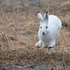 Hare  /  Mountain hare