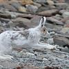 Hare  /  Mountain hare