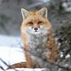 Rød Rev  /  Red Fox