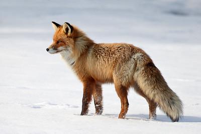 Rev - Red Fox