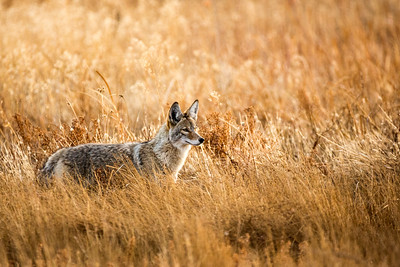Wild coyote hunting in a grassy field in the winter