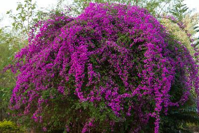 Big Flowering Bush At Lodge