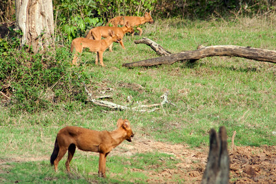 Dhole - Wild Dogs