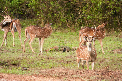Chital - Spotted Deer