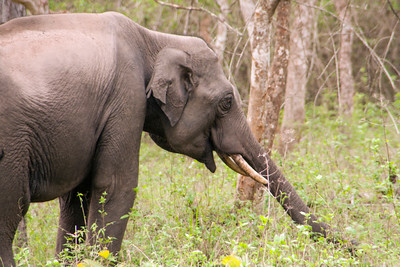 Young male Indian Elephant foraging