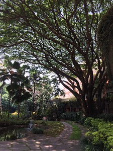 Big Tree day time at the Oberoi