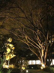 Big tree night time at the Oberoi
