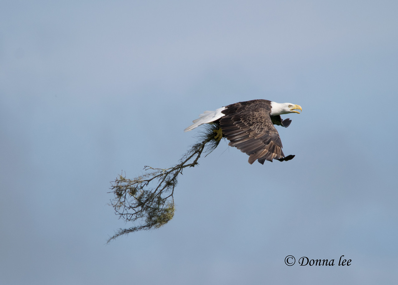 Harriet hauling her contribution to new nest