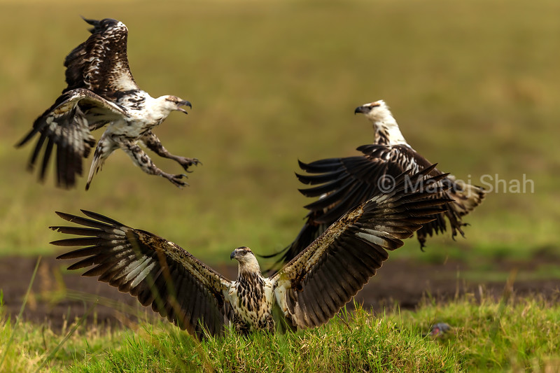 Two African Fish Eagles fight in aiir while a third one spreads irs wings in Masai Mara.